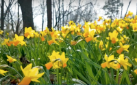 NY4P in City Limits: Across NYC, Millions of Daffodils Will Mark Lives Lost to 9/11 and COVID