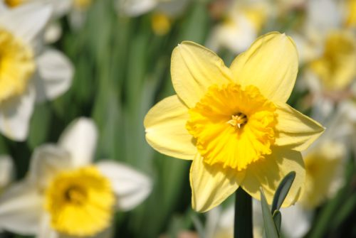 Daffodil Project blooms in Staten Island