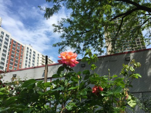 A rose at the LaGuardia Corner Gardens in Greenwich Village, Manhattan. Photo by Jessica Saab for NY4P.
