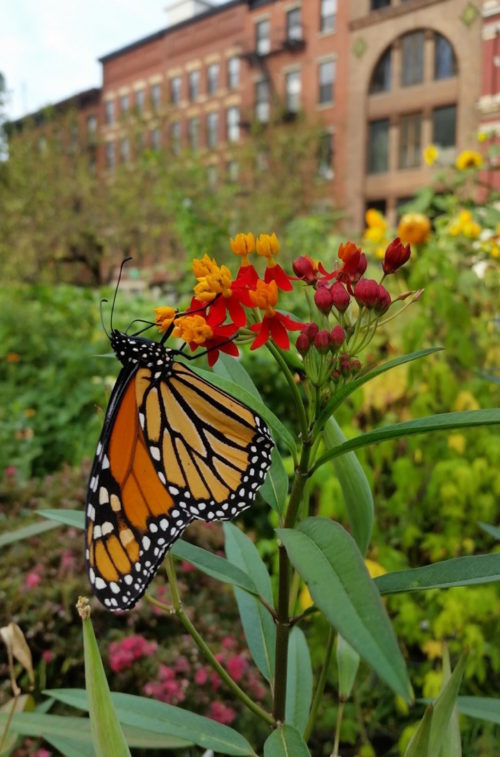 "A Monarch butterfly at the LaGuardia Corner Gardens in 2017. Original caption: ""A migrating monarch had stopped in the garden to refuel for the long flight south."" Retrieved from http://www.laguardiacornergarden.org"