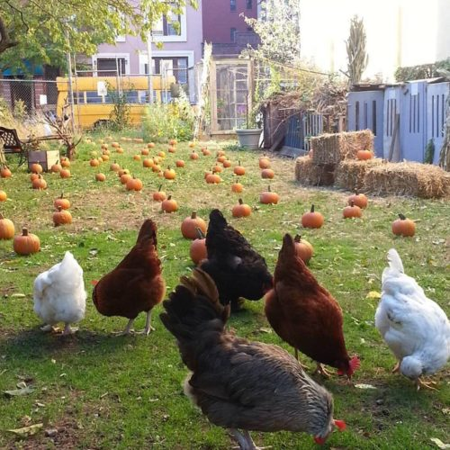 Chickens wandering around a pumpkin patch set up on the HPD lot that may be developed at the Pleasant Village Community Garden in Harlem, Manhattan. Photo retrieved from the official Pleasant Village Community Garden website dedicated to the HPD lot at https://pvcghpdland.wixsite.com/savetheland/