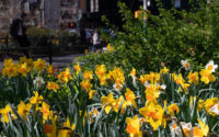 NY4P in Time Out: The Daffodil Project is planting one million flowers in NYC